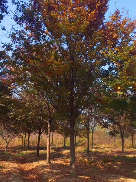 红榉树、红榉树价格、红榉树基地.jpg