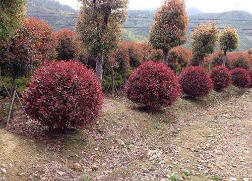 红叶石楠在哪里